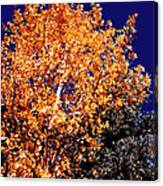 Aspen Tree Canvas Print