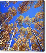 Aspen Tree Tops Canvas Print