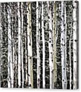 Aspen Tree Trunks Canvas Print