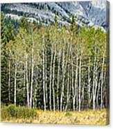 Aspen Trees Along The Bow Valley Canvas Print