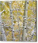 Aspen Trees Covered With Snow Canvas Print