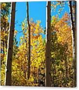 Aspen Trees In Fall Canvas Print