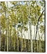 Aspen Trees In Spring  Canvas Print