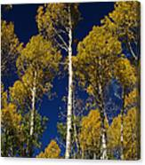 Aspens Against Blue Sky Canvas Print