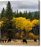 Aspens And Cows Canvas Print