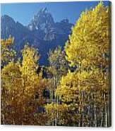 1m9356-v-aspens And The Grand Teton Canvas Print