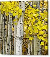 Aspens At Autumn Canvas Print
