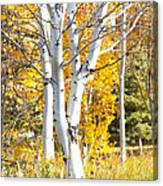 Aspens In Fall Canvas Print