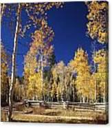 Aspens In Fall Canvas Print
