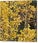 Aspens In The Fall 1 Canvas Print
