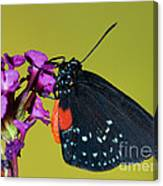 Atala Butterfly Canvas Print