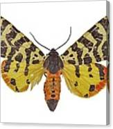 Atlantarctia Tigrina Moth Canvas Print