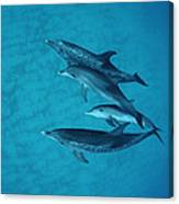 Atlantic Spotted Dolphin Adults Canvas Print