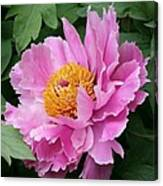 Attractive Pink Peony Canvas Print