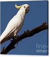 Australian Bird Canvas Print