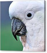 Australian Birds - Cockatoo Up Close Canvas Print