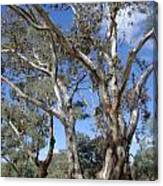 Australian Native Tree 12 Canvas Print