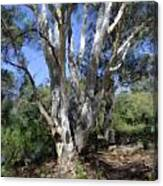 Australian Native Tree 5 Canvas Print