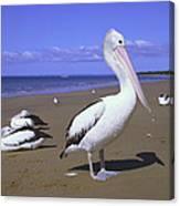 Australian Pelican On Beach Canvas Print