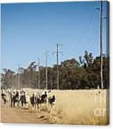 Australian Sheep Canvas Print