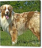 Australian Shepherd Dog Canvas Print