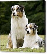 Australian Shepherd Dogs Canvas Print
