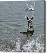 Australian Shepherd Fun At The Lake Chasing The Ball Canvas Print