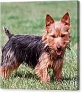 Australian Terrier Dog Canvas Print