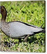 Australian Wood Duck Canvas Print