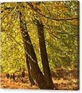 Autumn Beeches Canvas Print