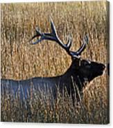 Autumn Bull Elk In Yellowstone National Park Canvas Print
