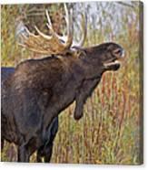 Autumn Bull Moose II Canvas Print