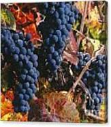 Autumn Cabernet Clusters  Canvas Print