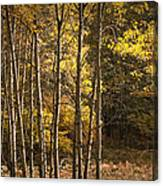 Autumn Forest Scene With Birches In West Michigan Canvas Print