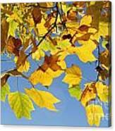 Autumn Leaves Of The Tulip Tree Canvas Print