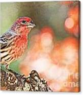 Autumn Male House Finch 1 Canvas Print