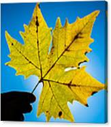 Autumn Maple Leaf In The Sun Canvas Print