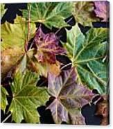 Autumn Maple Leaves Canvas Print