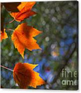 Autumn Maple Leaves In The Sun Canvas Print