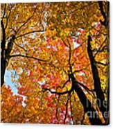 Autumn Maple Trees Canvas Print