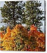 Autumn Maple With Pines Canvas Print
