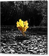 Autumn Oak Isolations Canvas Print