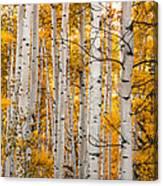 Autumn Quaking Aspen Canvas Print