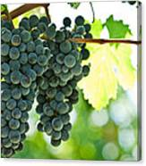 Autumn Ripe Red Wine Grapes Right Before Harvest Canvas Print