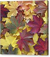 Autumn Sycamore Leaves Germany Canvas Print