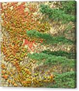 Autumn Vine And Evergreen Canvas Print