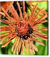 Autumn's Gerber Daisy Canvas Print