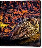 Autumns Sleepy Duck Canvas Print