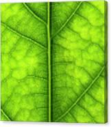Avocado Leaf Canvas Print
