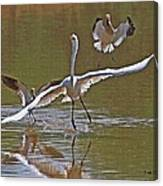 Avocets Chase Off The Egret Canvas Print